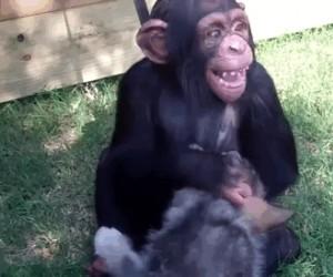 Mały szympans, wilk i tygrys