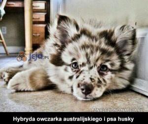 Hybryda owczarka australijskiego i psa husky