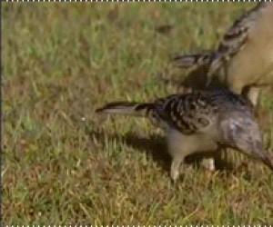 Ptak nożownik