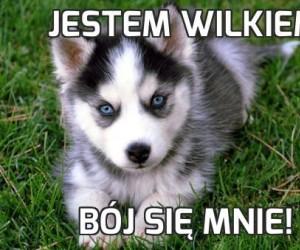 Jestem wilkiem