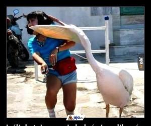 Jeśli do tej pory nie bałeś się pelikanów