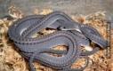 Smoczy Wąż