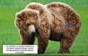 Dywanowy niedźwiedź z Alaski