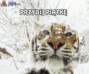 Przybij piątkę tygrysowi!