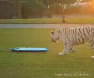 Tygrys surfujący po trawie, scrolluj dalej