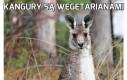 Kangury są wegetarianami