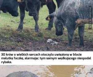 Krowy uratowały foczkę