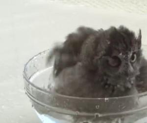 Zastanawiałeś się kiedyś, jak kąpią się sowy?