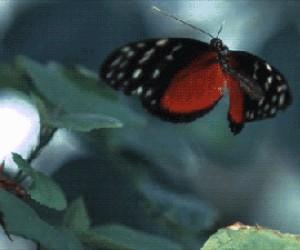 Motylku przestań!