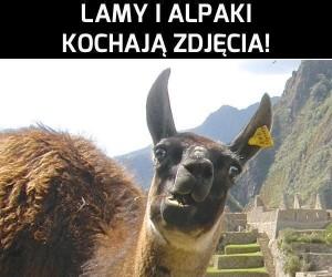 Lamy i alpaki kochają zdjęcia
