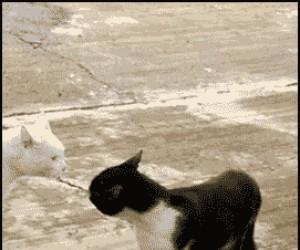 Kobra-kot w natarciu!