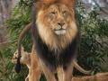 Nie drażnij lwa!