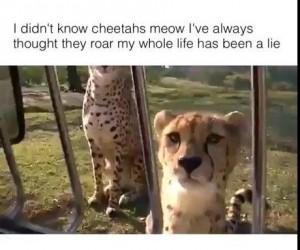 Czy wiesz, że gepardy miauczą?