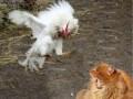 Kot vs. Kurczak