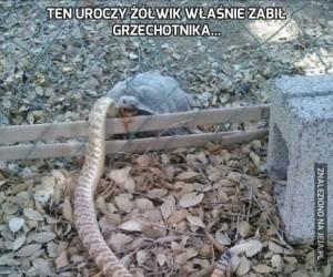 Ten uroczy żółwik właśnie zabił grzechotnika...