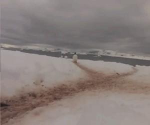 Skrzyżowanie pingwinów