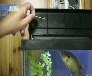 Bardzo głodna rybka