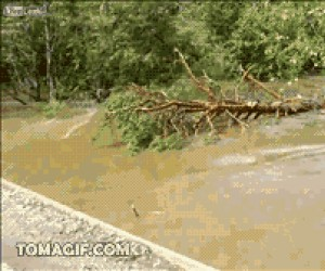 Jak drzewo pokonuje most