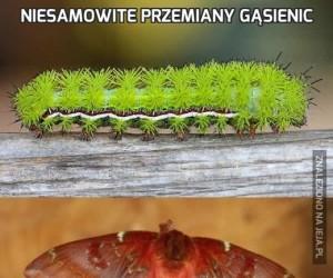 Niesamowite przemiany gąsienic
