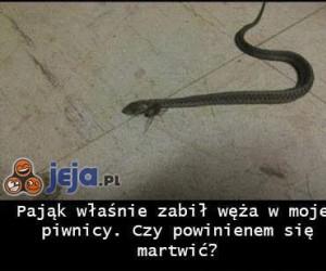 Pająk zabił węża...