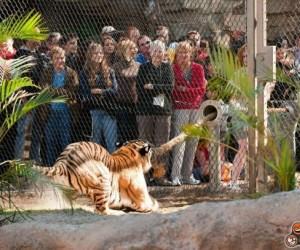 Pomysł na rozrywkę dla tygrysa