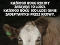 Każdego roku 100 ludzi ginie zadeptanych przez krowy
