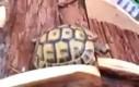Żółw wyścigowiec