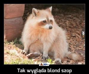 Tak wygląda blond szop