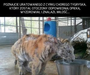 Uratowany tygrysek