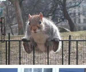 Plaga upasionych wiewiórek
