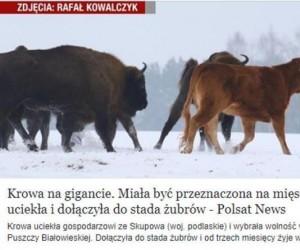 Krowa na gigancie