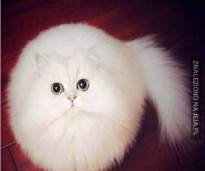 Puszysty koteł podbija internety