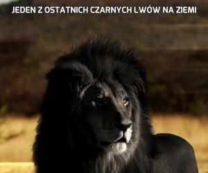 Jeden z ostatnich czarnych lwów na Ziemi