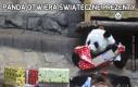 Panda otwiera świąteczne prezenty