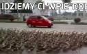 Tico dowodzące armią kaczek
