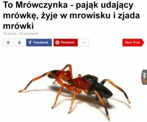 Mrówka Muzułmanka