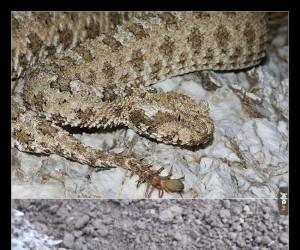 W Iranie żyje żmija, która ma ogon w kształcie pająka