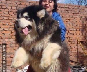 Tybetański pies