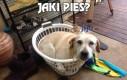 Jaki pies?