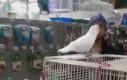 Bansuj, papugo!