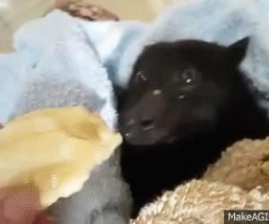 Uroczy nietoperz wcina banana
