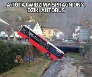 A tutaj widzimy spragniony, dziki autobus