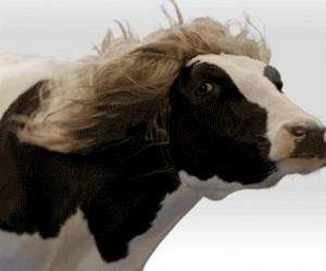 Majestatyczna krowa jest majestatyczna