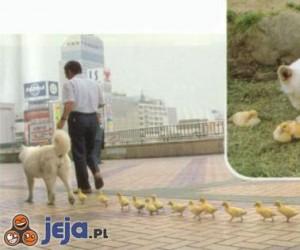 Pies, a za nim kaczątka