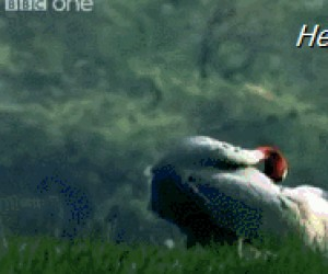 Dlaczego wrony kradną?