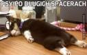 Psy po długich spacerach