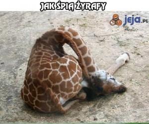 Jak śpią żyrafy