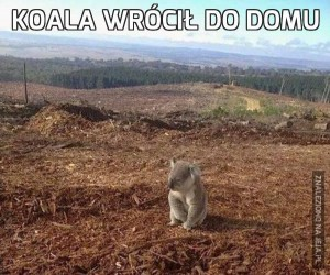 Koala wrócił do domu