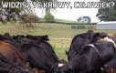 Widzisz te krowy, człowiek?
