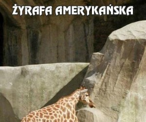Żyrafa amerykańska